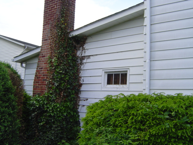 Ivy Growing under siding